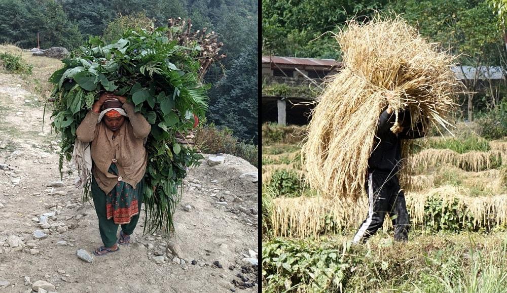 Harvest in Annapurna