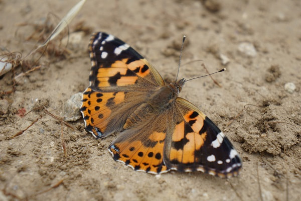 Malibu - Santa Monica Mountains - Painted Lady Butterfly